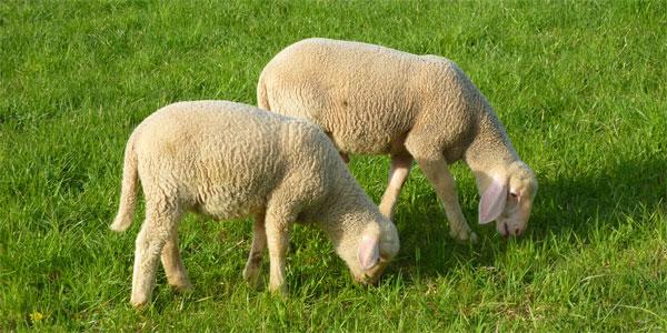 pecore - Cucina di Sicilia